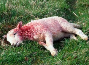 dead-lamb-lying-down-covered-in-blood-possibly-a-fox-kill-A0HGCF
